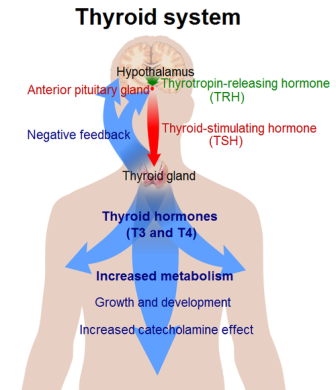 what does the thyroid do?