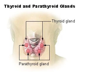 thyroid gland picture